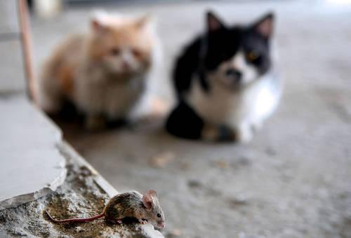 el estudio de la academia nacional de ciencias publicado ayer por un diario concluye que los ratones empezaron a infestar los