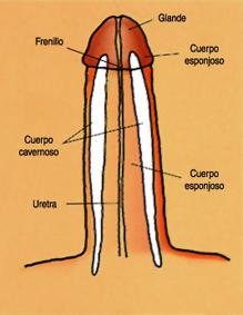 partes del pene erecto