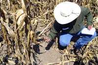 Parcela del Centro Internacional de Mejoramiento de Maíz y Trigo en Texcoco, estado de México  Roberto García Ortiz