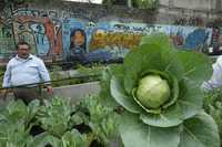 Entre las marcas de los grafiteros brotan las legumbres