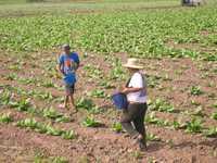 La antes llamada Costa de Oro nayarita se ha convertido en una región expulsora de migrantes a causa de la debacle del cultivo de tabaco, actividad que antes daba empleo a decenas de miles de personas