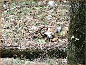 A los animales en cautiverio se les han creado ambientes que les ayuden a estimular el comportamiento típico de su especie en libertad. Para alimentarlos se les han proporcionado venados vivos para cazar Foto: Jorge Rojas/Ovis, AC
