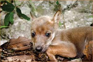 Éste es uno de los cachorros nacidos en el centro de rehabilitación conductual de OVIS. Simboliza la deuda que tenemos con la biodiversidad de México por haber devastado irracionalmente a uno de sus más dignos representantes; recuperar al lobo, es recuperar para el futuro las tierras silvestres de la Sierra Madre Occidental Foto: Jorge Rojas/Ovis, AC