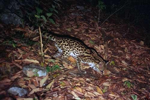 : Descubren presencia de ocelote, margay y jaguarundi en Guanajuato