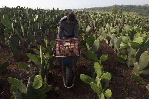 El nopal capitalino es exportado a ocho países: Adriana Contreras