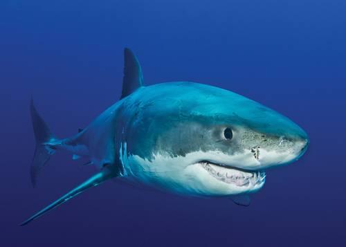 Secuencian genoma del tiburón blanco; aporta claves para la salud humana