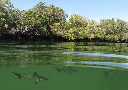 Hallan guardería de tiburones martillo en Galápagos; alienta el rescate del pez<br>