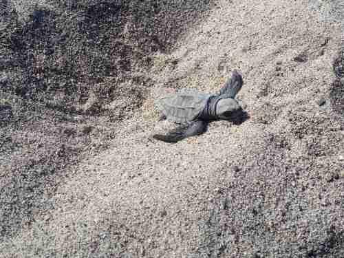 Afecta turismo zona de anidación de tortugas en Bahía de Banderas
