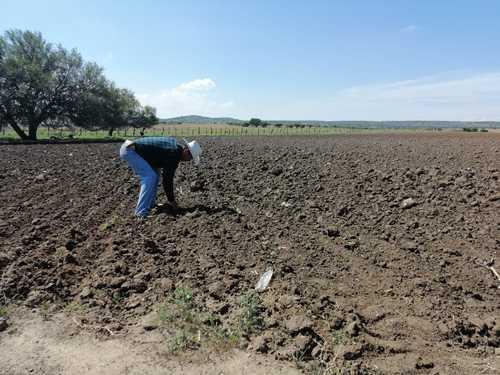 Se desploma 42% la siembra de frijol en México debido a la sequía