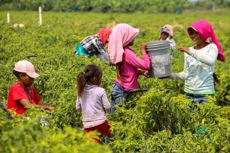 Multan a empresario agrícola en Sonora por emplear a embarazadas y menores