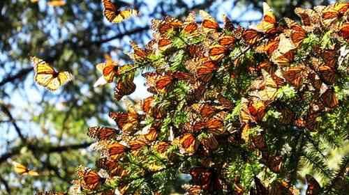 <br>En 30 años, la temperatura en la región de la monarca se ha elevado 2.5 grados