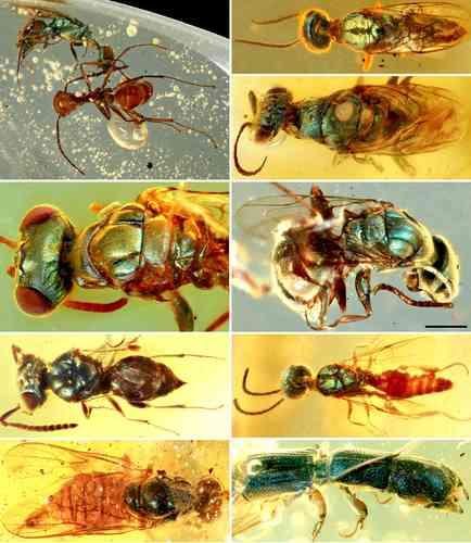 Revelan secretos de la coloración de insectos de hace 99 millones de años