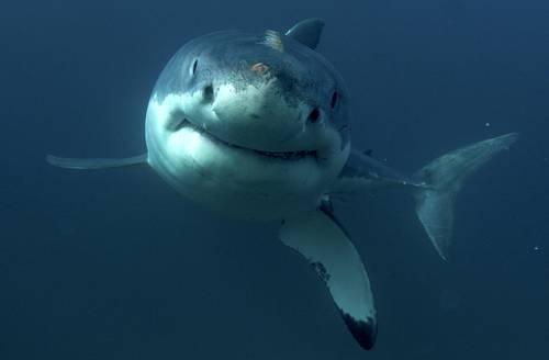 Pese a estar en riesgo, se permite captura de tiburones: Oceana México