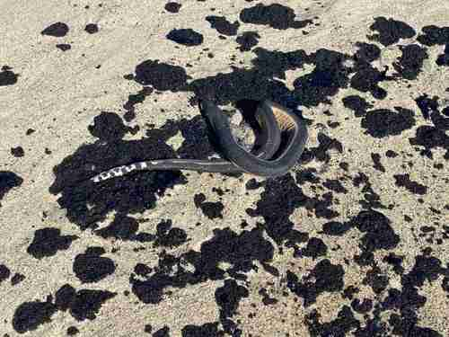 Derrame de combustóleo en Oaxaca provoca muerte de peces y serpientes