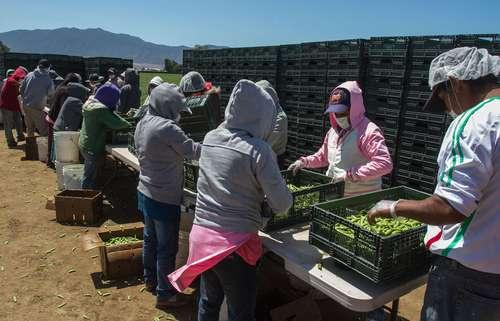 En Oaxaca, Michoacán y Valle del Yaqui<br>Cristal, el lado oscuro del auge agrícola