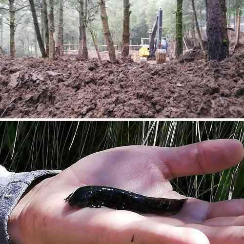 Un trascabo de inmobiliarias realizó trabajos de deforestación en el bosque de San Luis Ayucan, lo que pone en riesgo el hábitat del ajolote de montaña. Las constructoras pretenden ampliar las obras del fraccionamiento Residencial Campestre Villa Alpina.